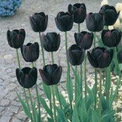 Black tulips my all