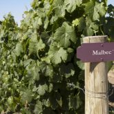 Malbec, a uva preferida dos brasileiros